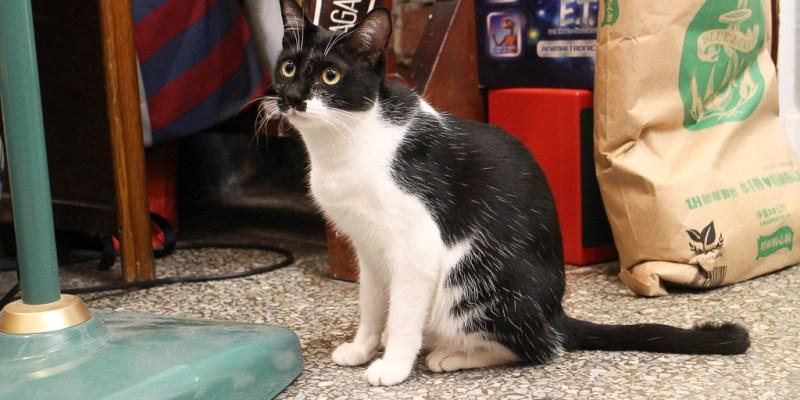 台南 名字叫做いぬ(狗)但其實是隻愛搗蛋的喵星人,永樂市場二樓美式軟餅乾店不定時駐店店貓 台南市中西區Cookiss いぬ