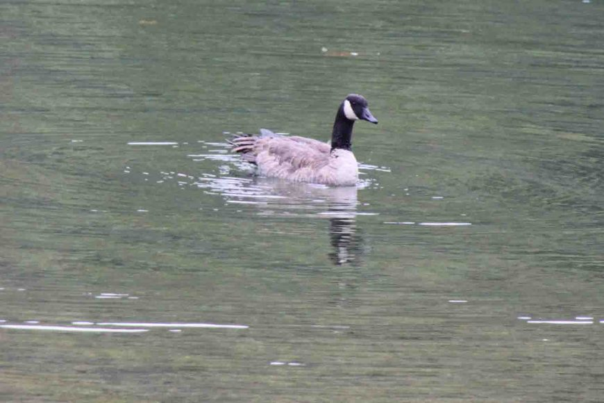 goose at dillard mill