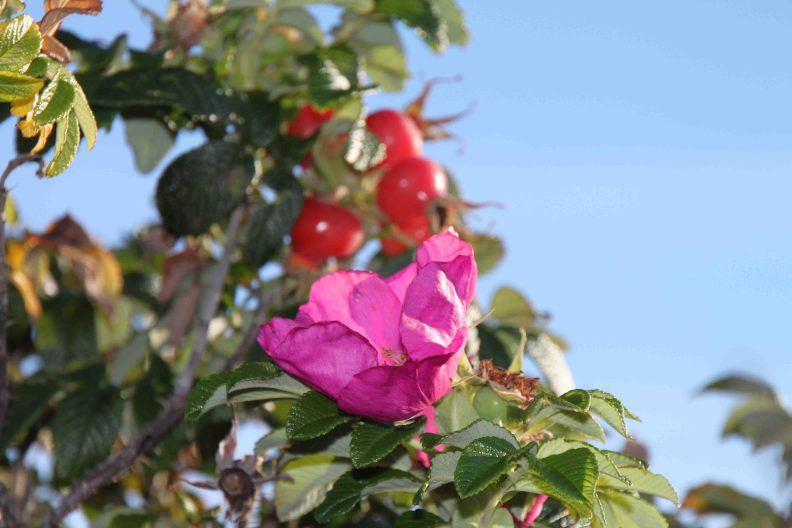 rosehip in reid state park