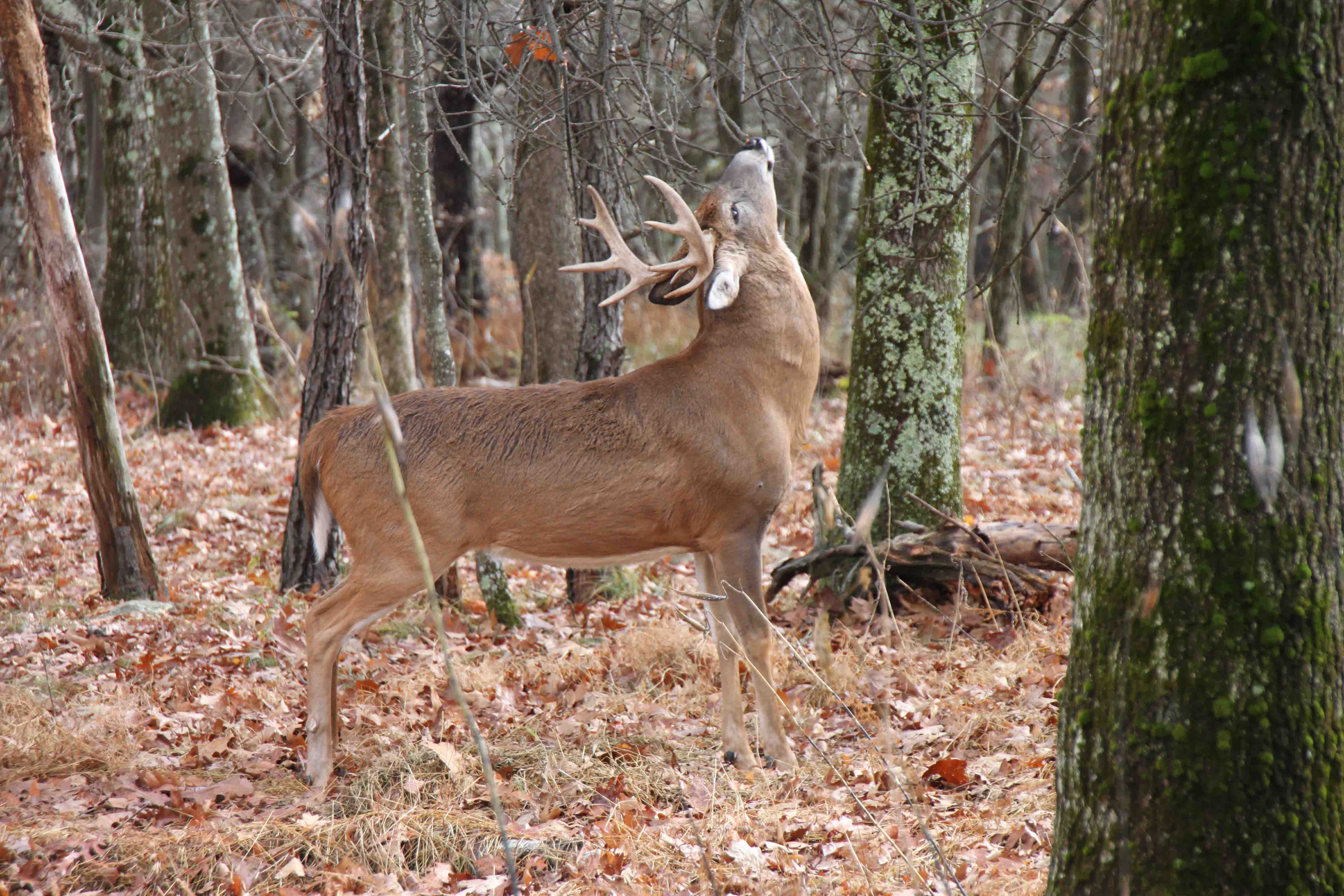 buck at big meadows in shenandoah national park