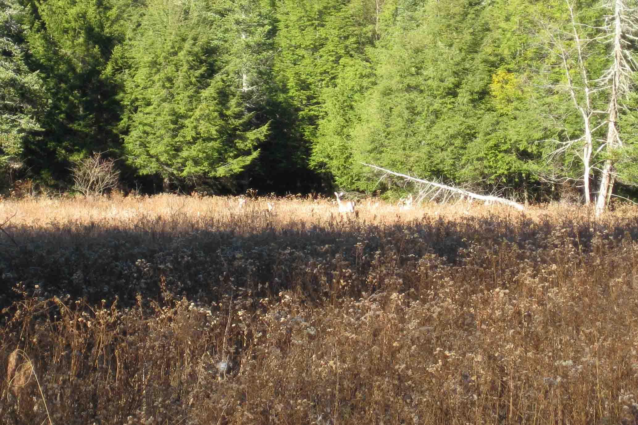 deer in canaan valley resort state park in west virginia