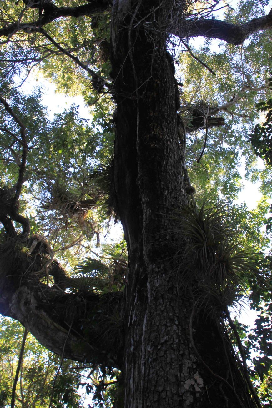 mohagany tree in the florida everglades national park