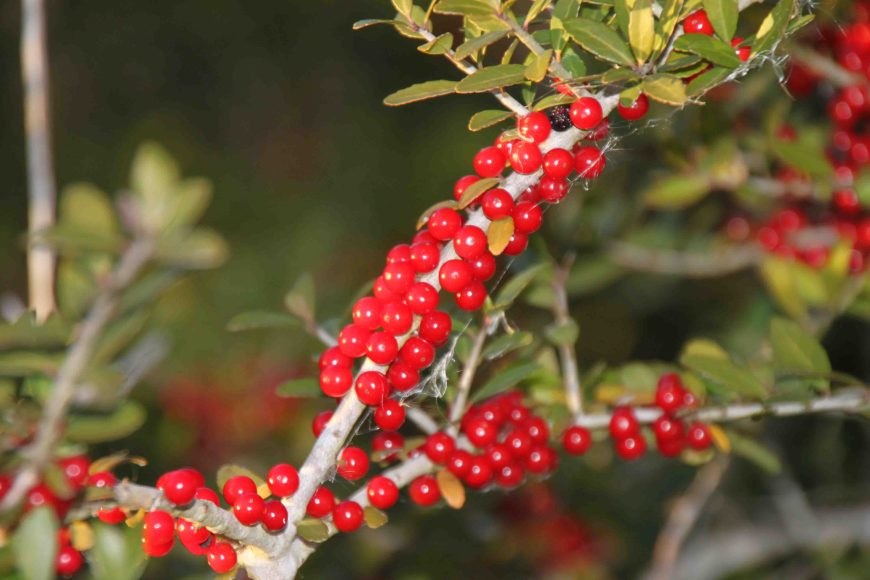 red berries at the st. marks national wildlife refuge