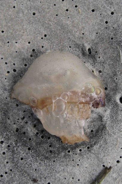 IMG_5046 jelly fish