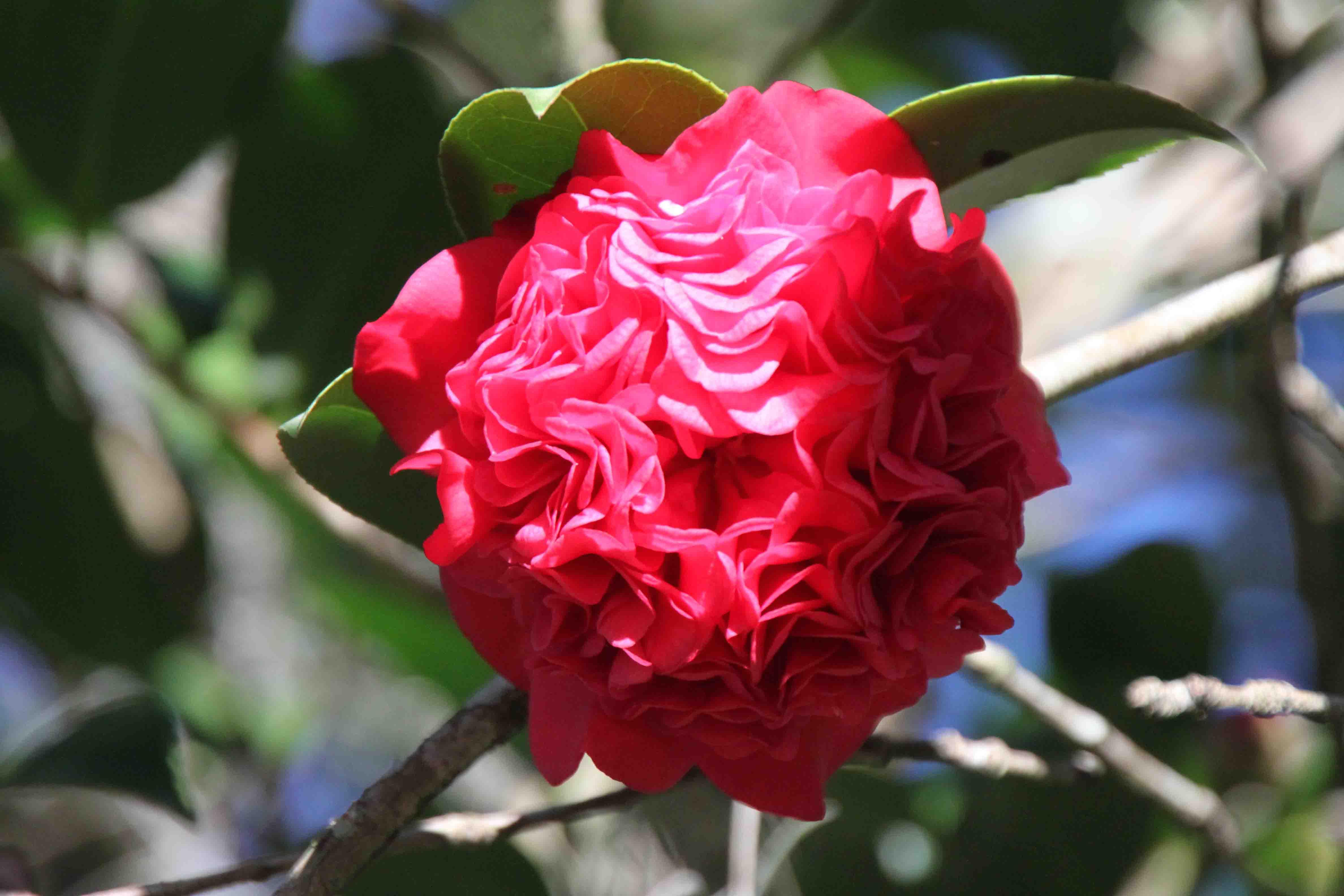 camellia on avery island, louisiana