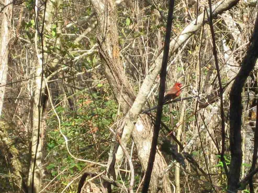 cardinal at lake fausse point state park