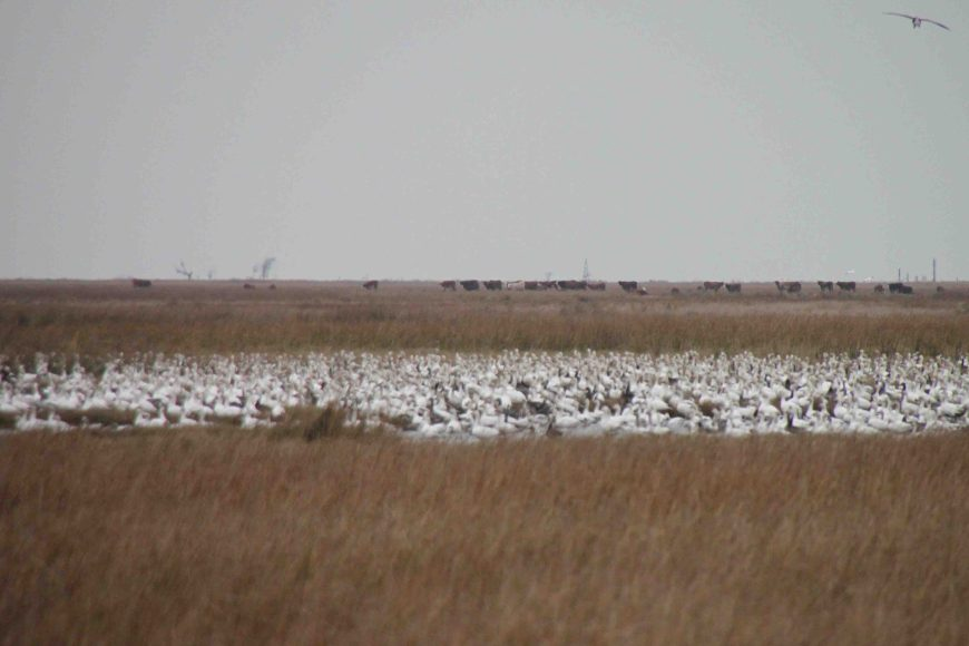 geese at Anahuac National Wildlife Refuge in East Texas
