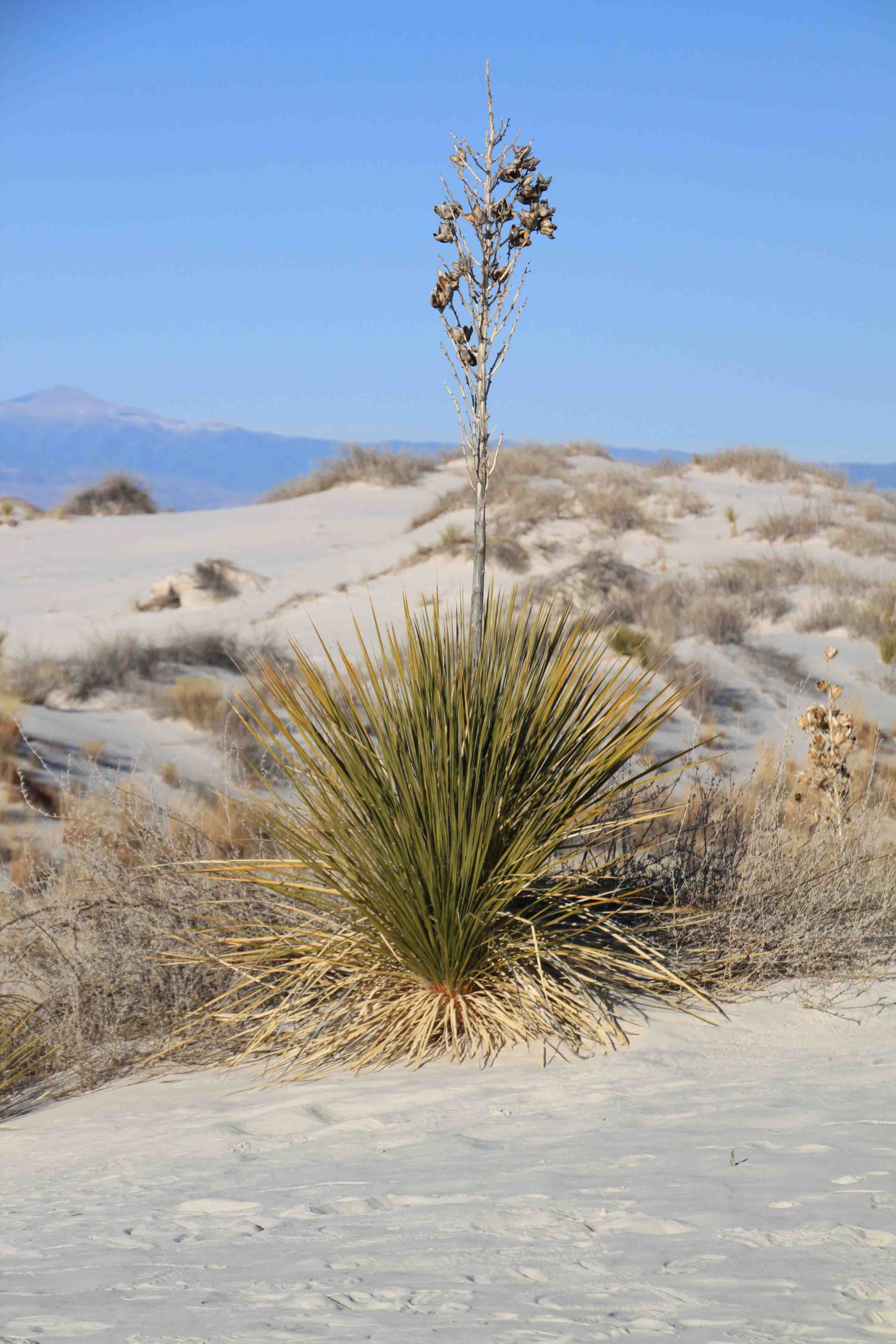 cactus at white sands national monument