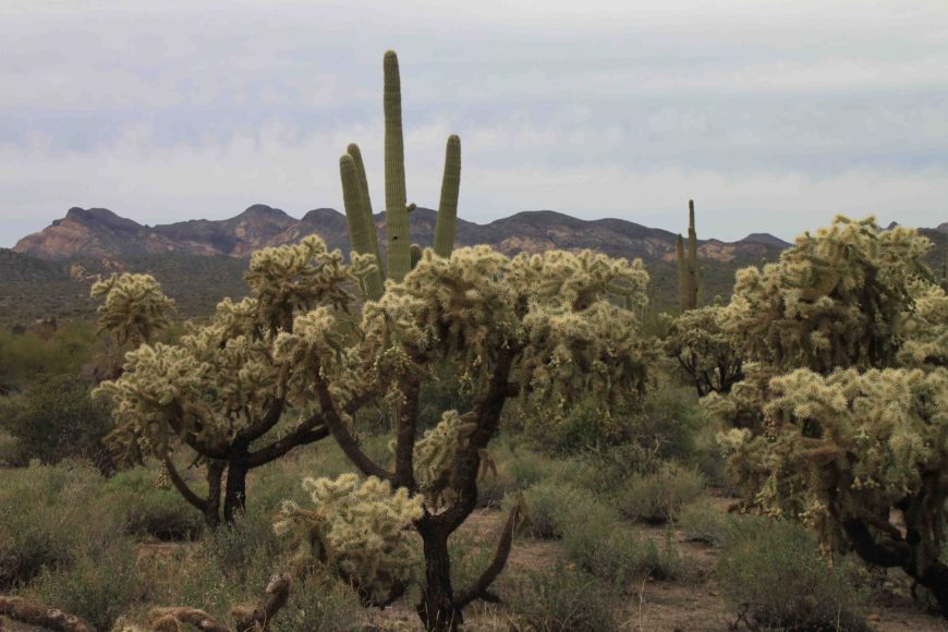 cacti at lost dutchman state park