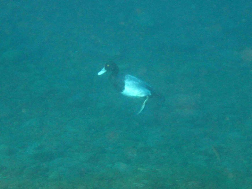 duck diving underwater at balmorhea state park