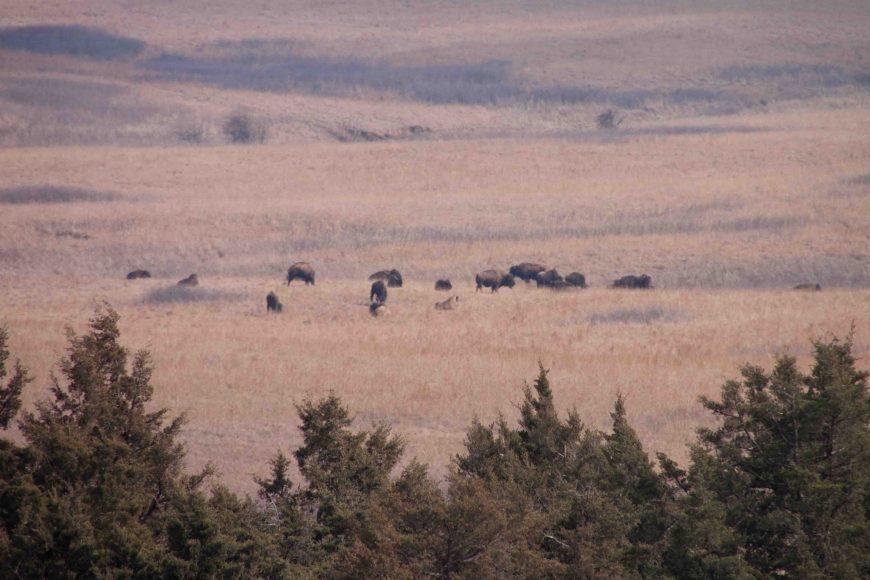 bison at maxwell wildlife refuge
