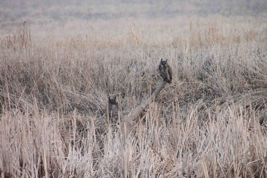 owls at Cheyenne Bottoms