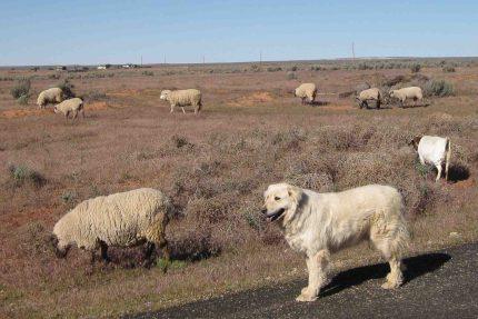 IMG_2838 sheep goat dog