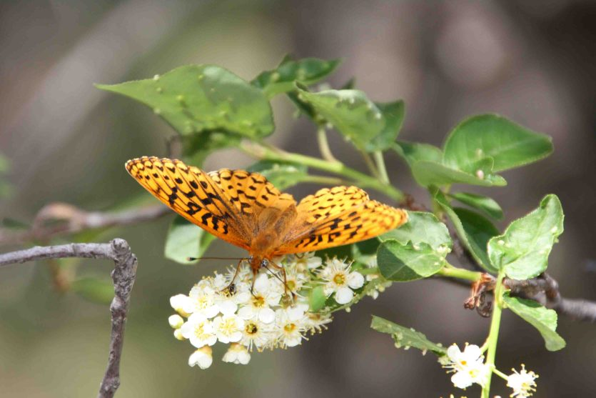 great spangled fritillary in new mexico