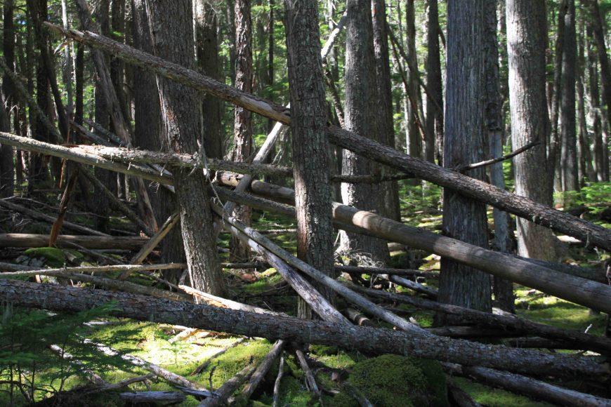 fallen trees in glacier national park