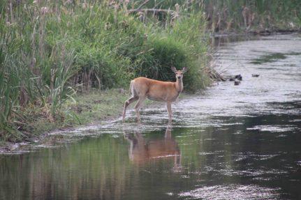 IMG_9073 deer