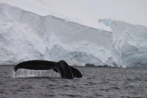 humpback whale, orne harbor, antarctica