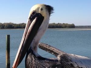 pelican in hilton head