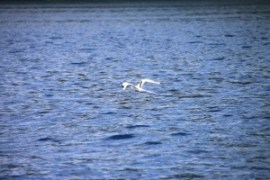 White Tail Tropic Bird