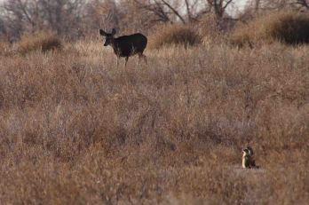 IMG_2476 doe prairie dog