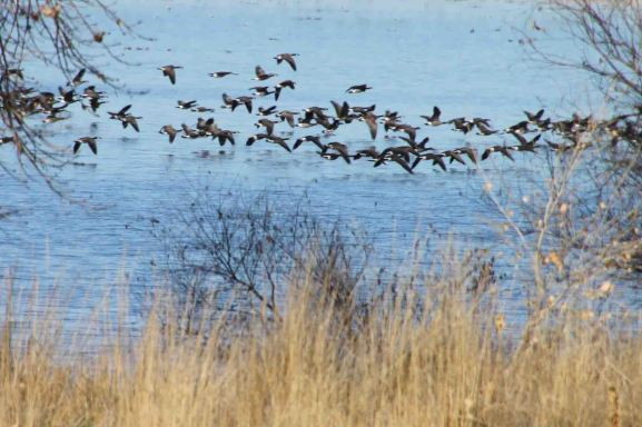 IMG_2679 geese