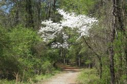 IMG_3389 cherry blossoms