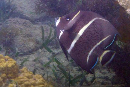intermediate french angelfish