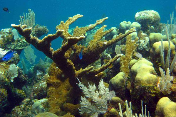 elkhorn corals
