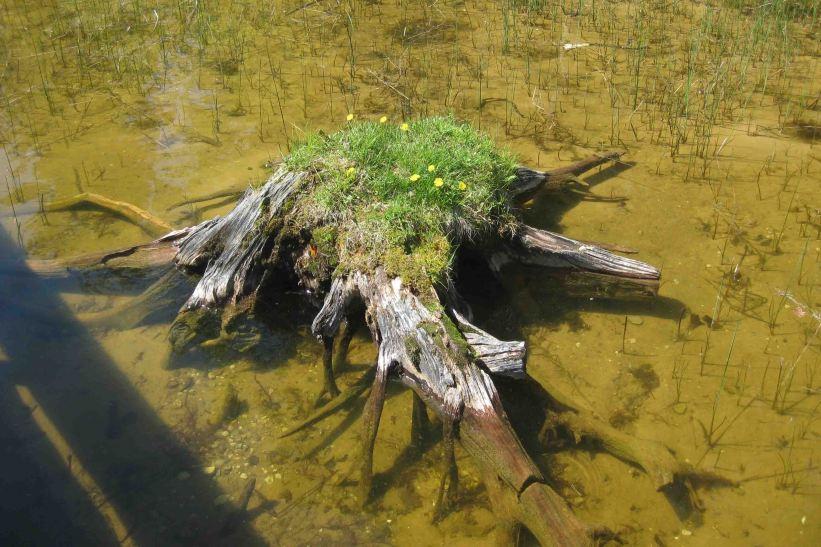 IMG_4418 weedy stump