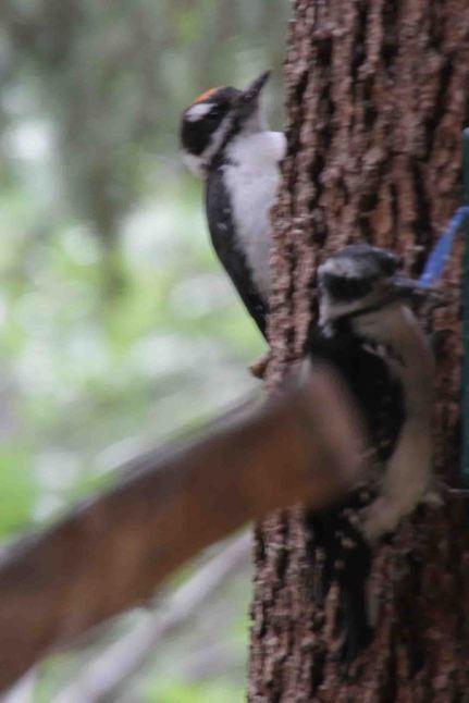 IMG_5499 woodpeckers
