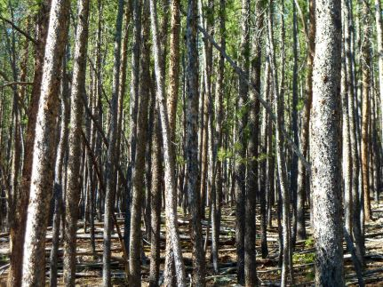 P1030002 pines
