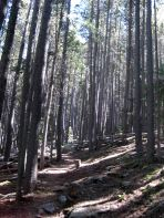 colorado trail in lodge pole pine forest