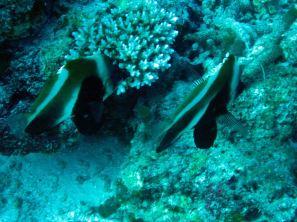 IMG_0216 bannerfish