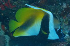 IMG_0227 moorish idol