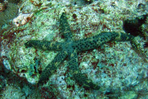 photo1430313078658 sea star dive1