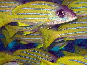photo1430313182062 blue striped snapper