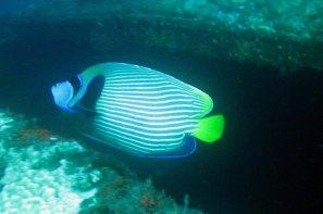 photo1430315035534 angelfish