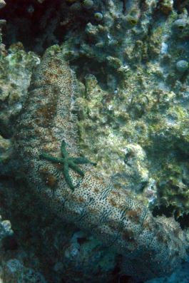 sea cucumber with seastar on top