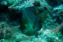 protective damselfish