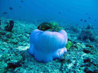 photo1430315931818 clownfish