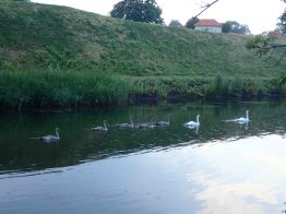 Swans at Kastellet