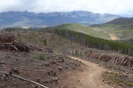 pine beetle devastation