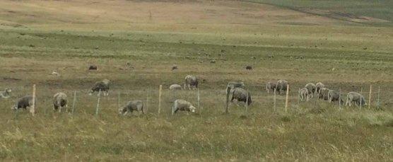 IMG_3607 sheep
