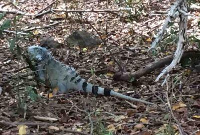 IMG_6247 iguana