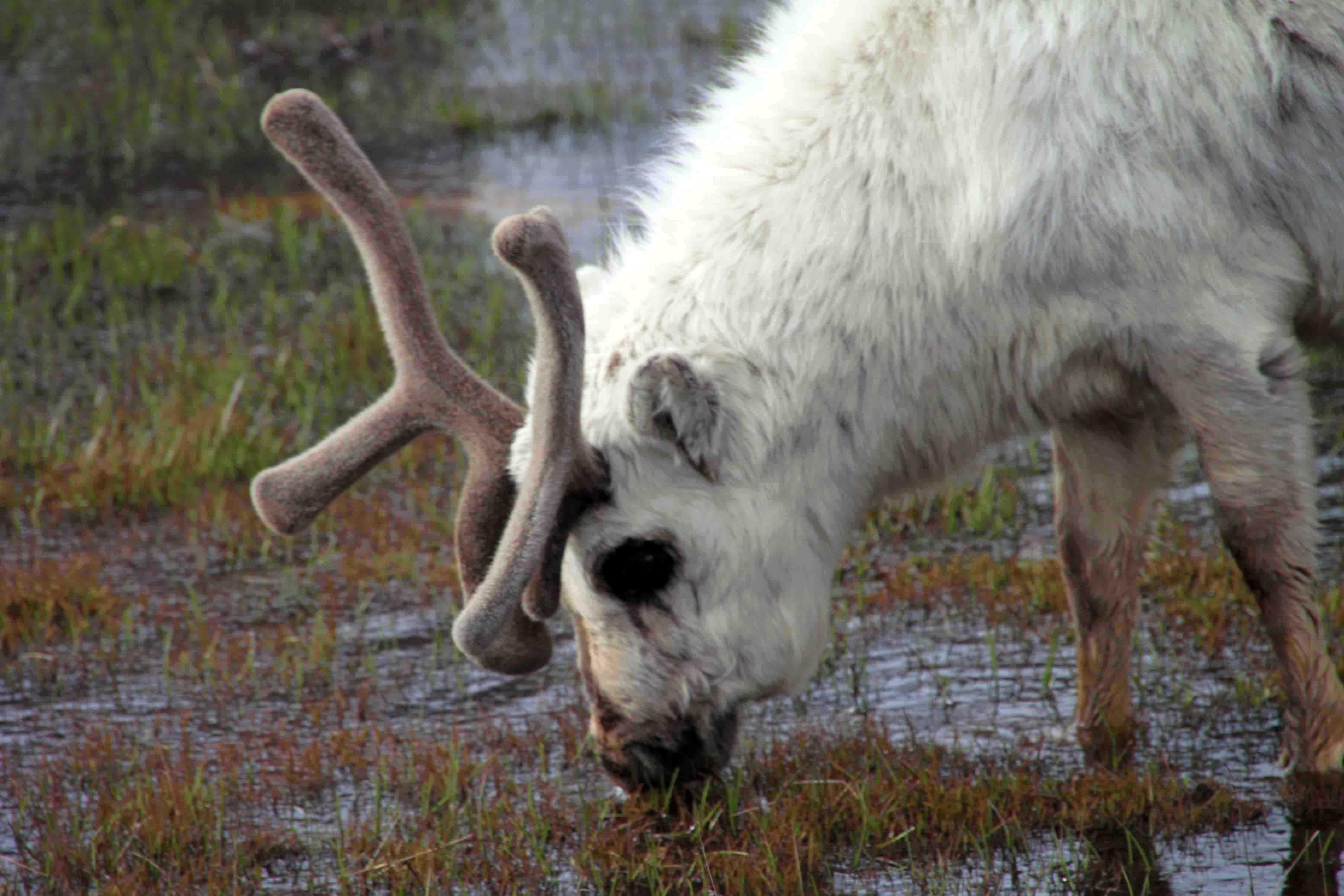 reindeer near Longyearbyen, Spitsbergen