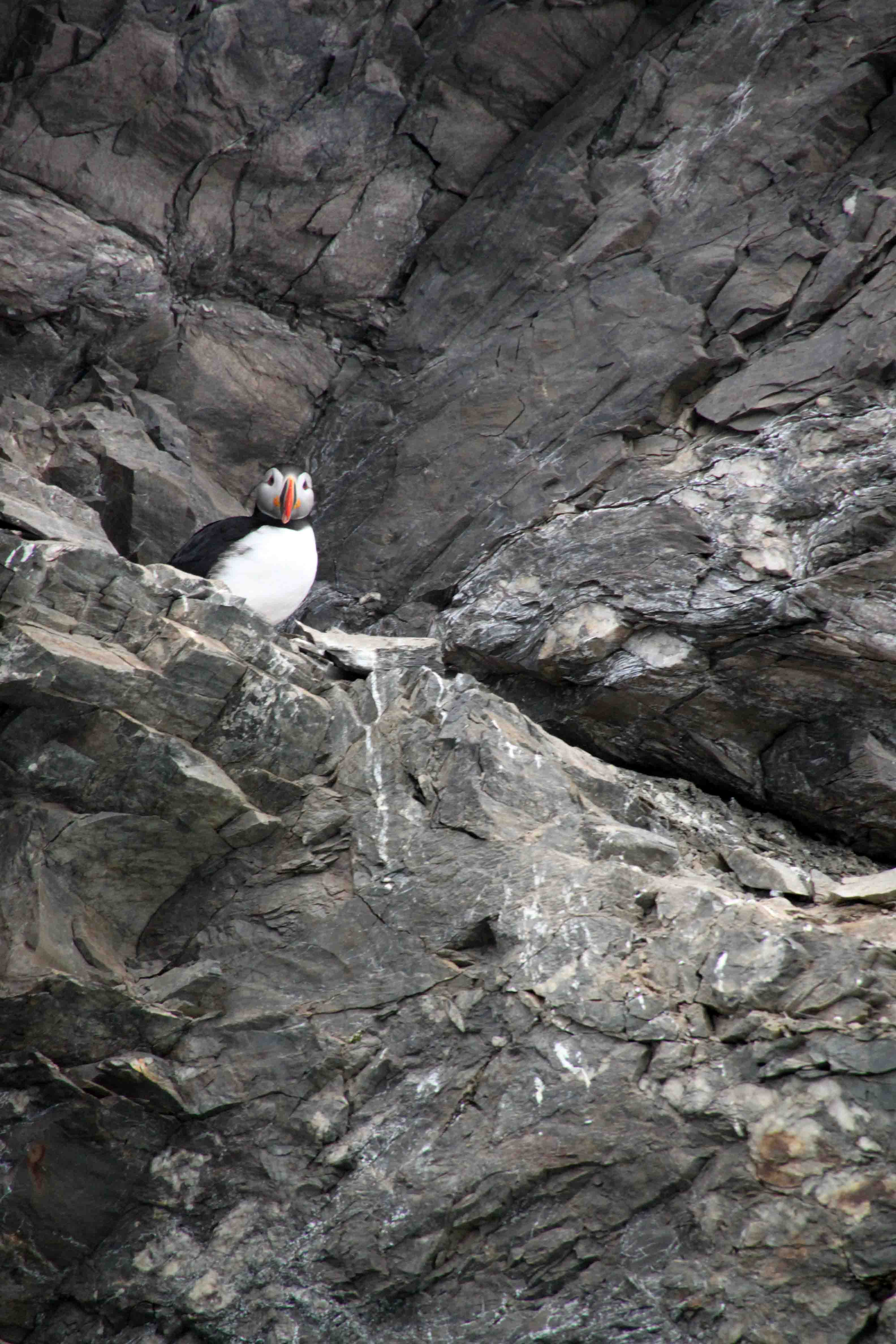 puffin on the sea cliffs in the arctic