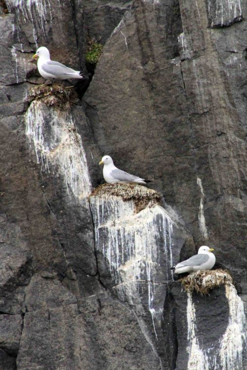 nesting kittiwakes at Allkefjellet