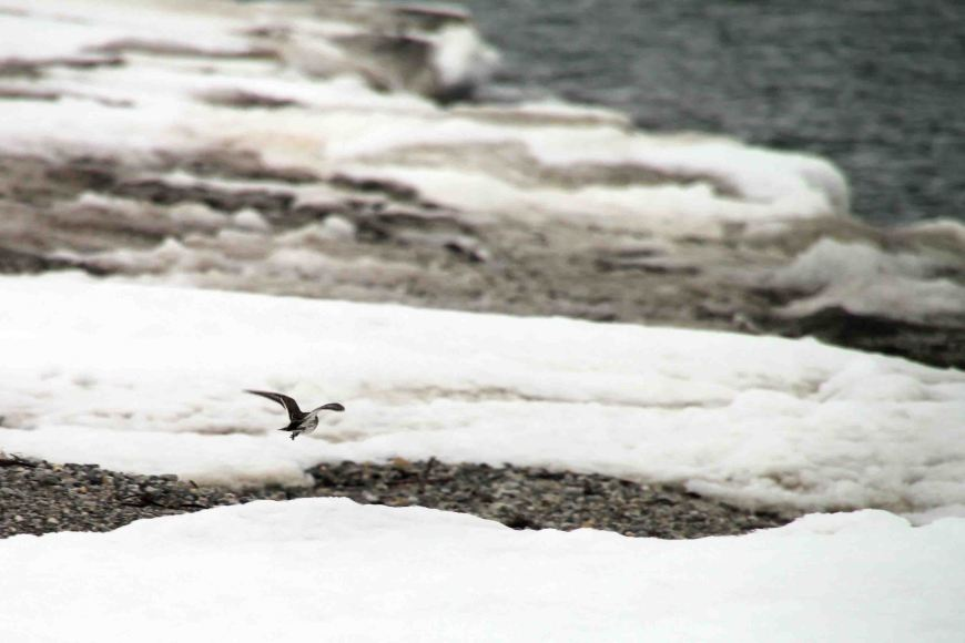 purple piper in the arctic