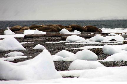 IMG_8714 walrus