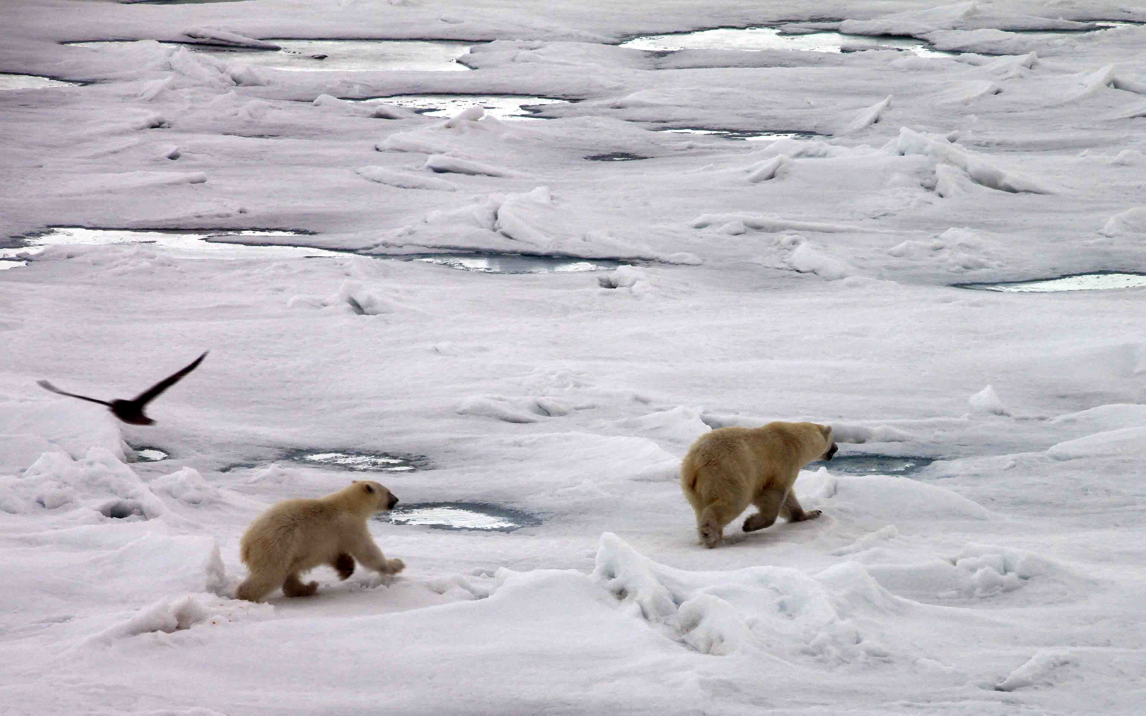 mama and cub running from male bear